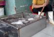 Bạch tuộc được ngâm trong dung dịch để tẩy trắng
